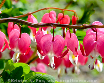 Bleeding Heart Flowers Photo ©Kristen N. Fox - click here for fine art prints!