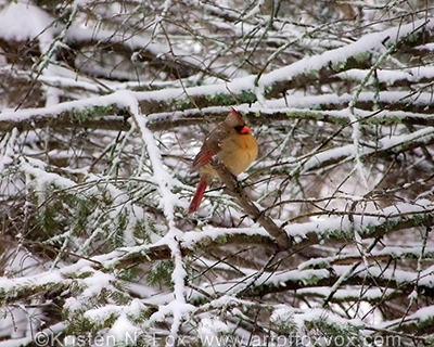 Female Cardinal on a snowy branch ©Kristen N. Fox, www.foxvox.org
