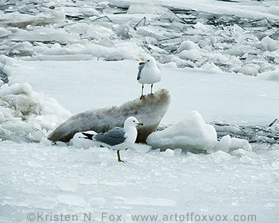 Seagulls on Ice © Kristen N. Fox, www.foxvox.org